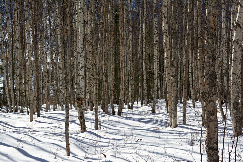 Birch trees and shadows on snow
