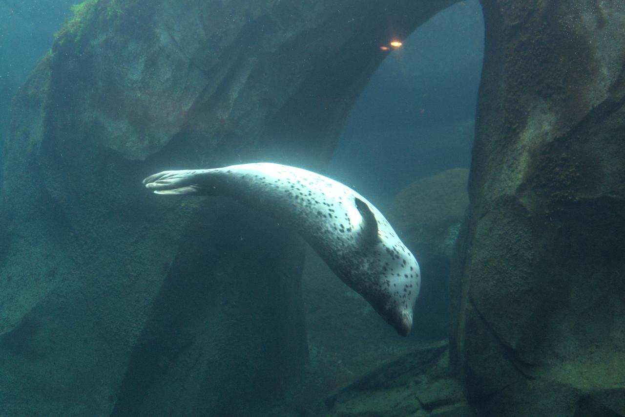Harbor seal at the Alaska Sealife Center in Seward Alaska
