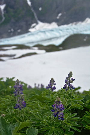 Lupins blooming in an alpine meadow