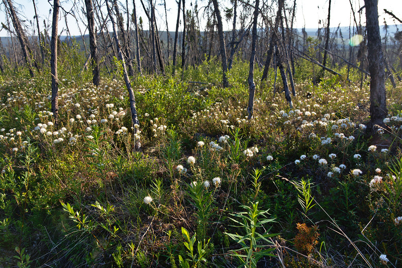 Wildflowers and green undergrowth beneath the burnt spruce trees