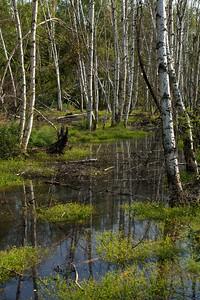 Birch in Water