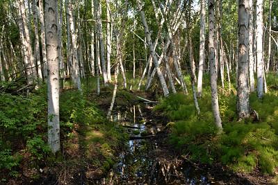 Stream through the Birch