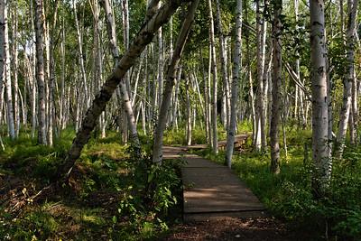 Boardwalk Through the Birch