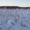 Snow-Covered Cattails