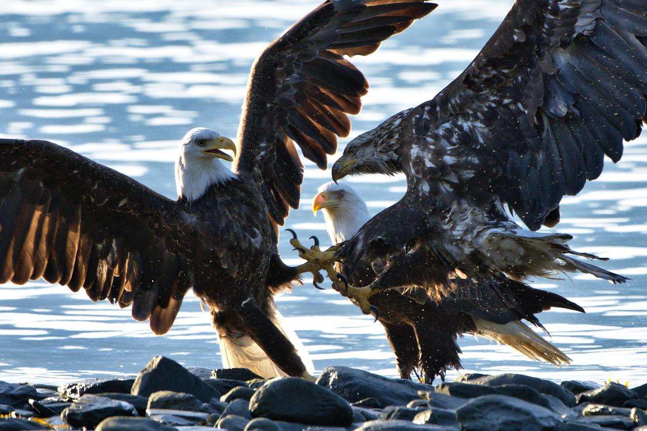 Bald eagles sparring over salmon at the Solomon Gulch Hatchery in Valdez, Alaska.