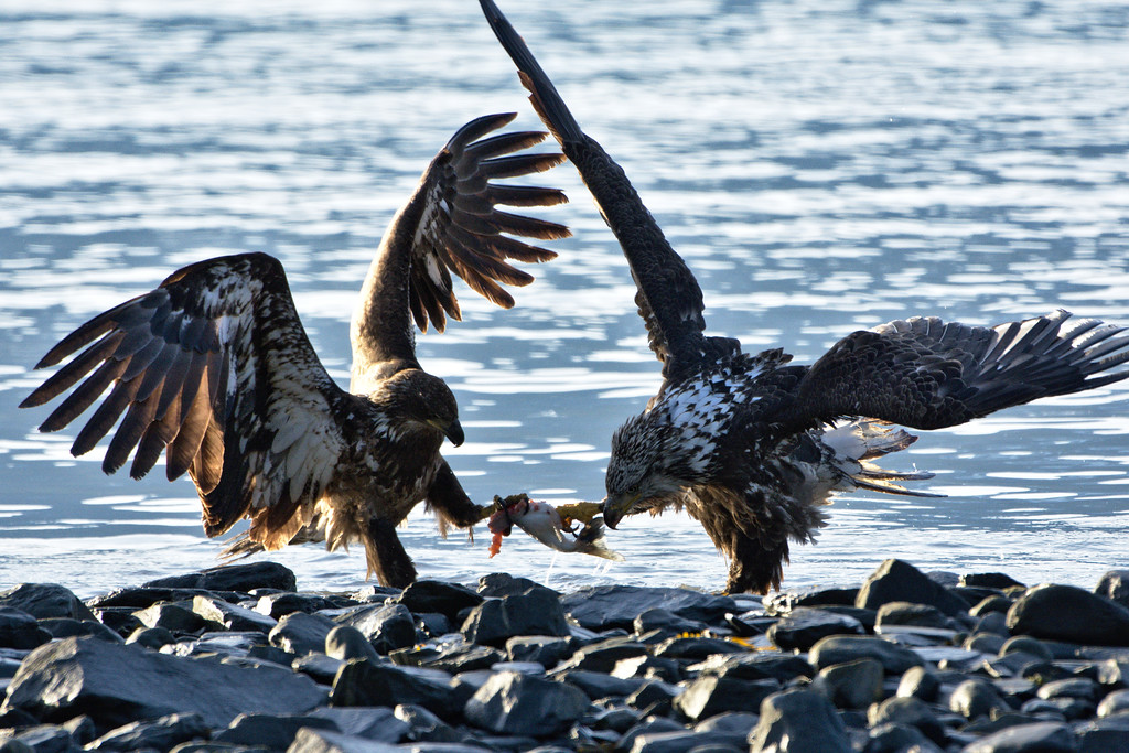 Juvenile bald eagles fighting over salmon at the Solomon Gulch Hatchery in Valdez, Alaska