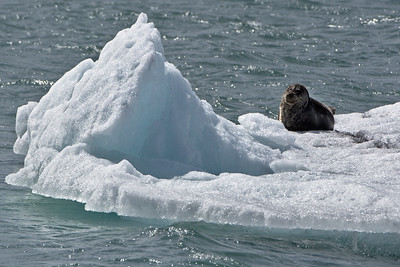 Seal on an Iceberg