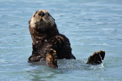 Sea Otter - Valdez, Alaska