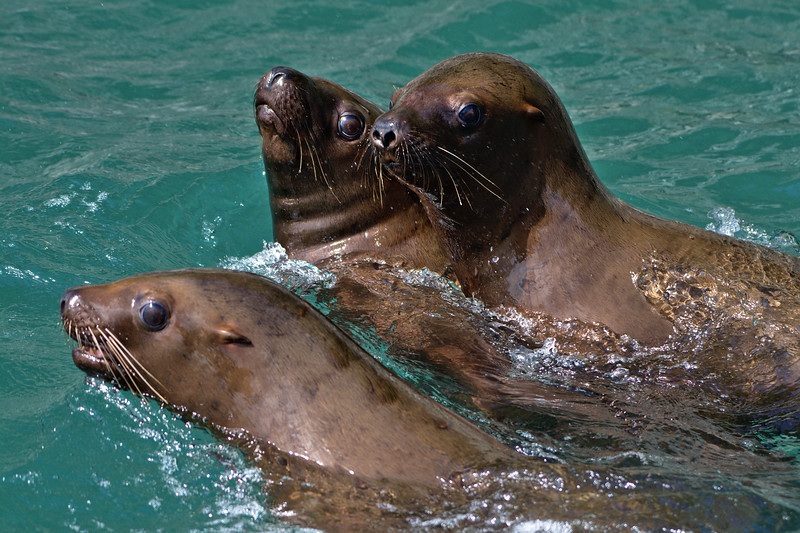 Young Steller Sea Lions