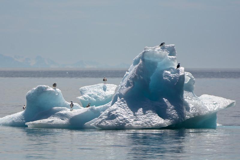 Gulls on an Iceberg
