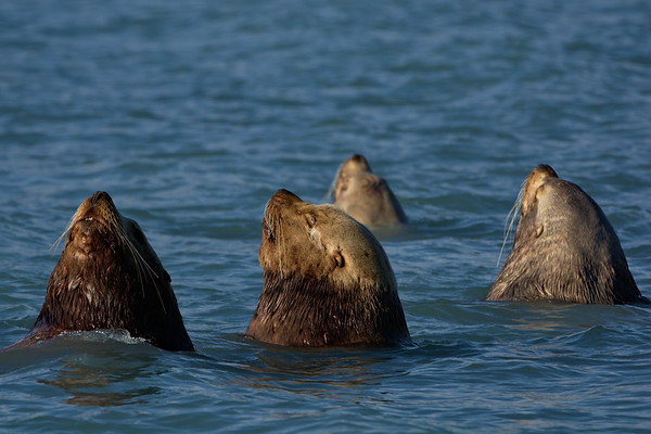 Sea Lion Yoga