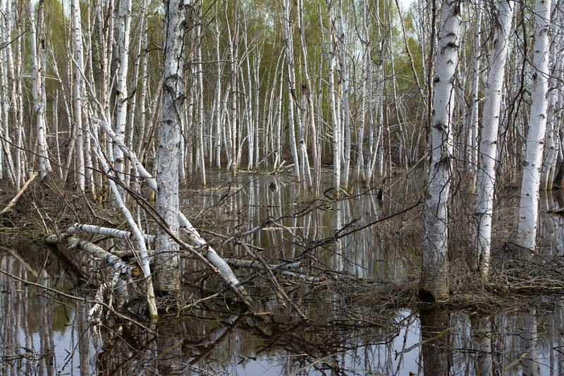 Birch In Wetland