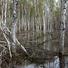 Birch In Wetland