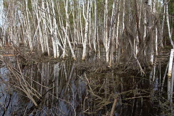 Reflections in Birch Wetland