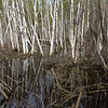 Reflections in Birch Wetland