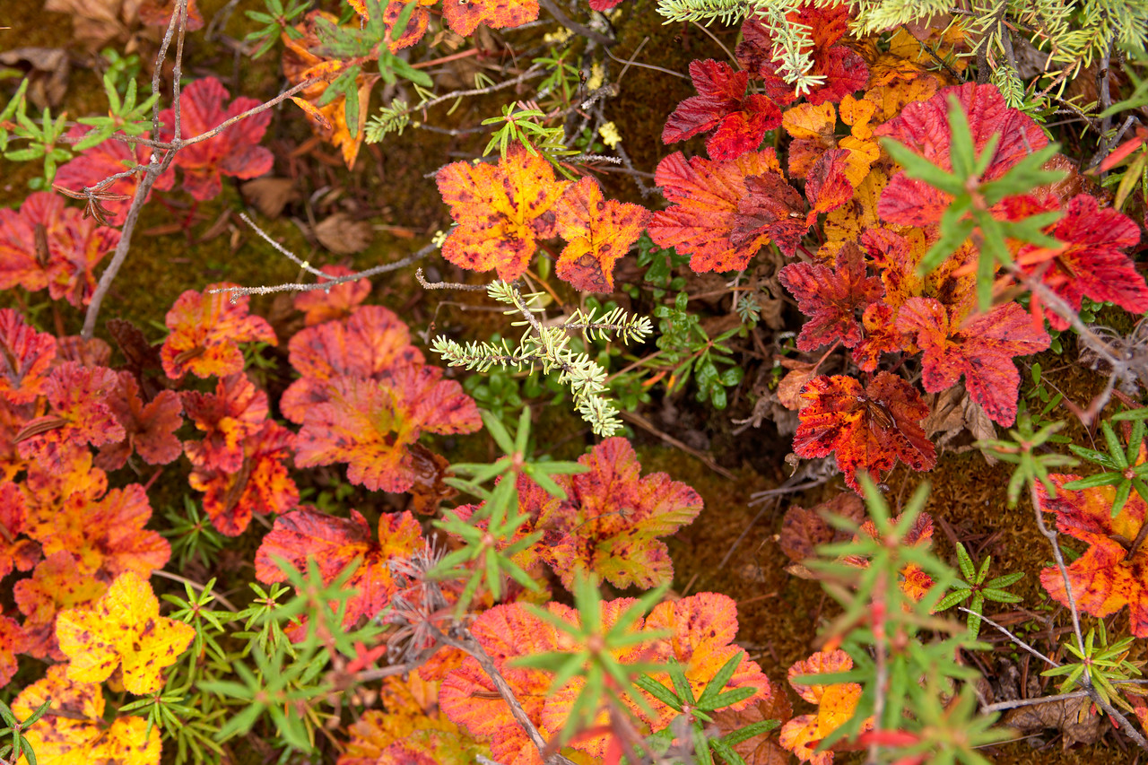 Red and yellow undergrowth in the fall under a boreal forest in Fairbanks, Alaska.