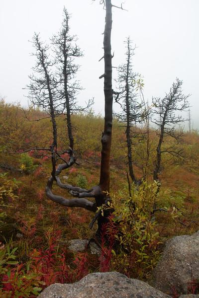Stripped Spruce