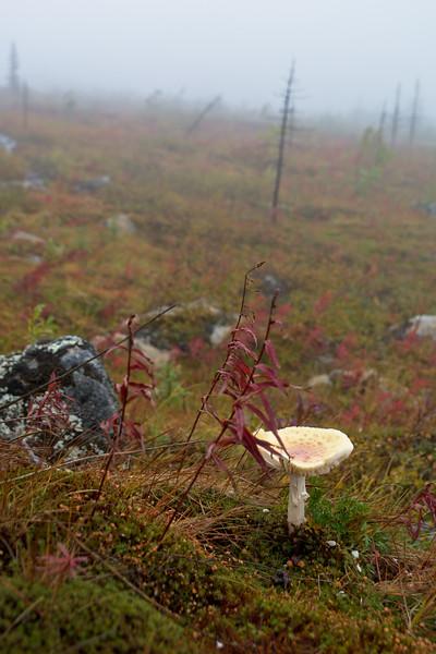Mushroom on the Tundra