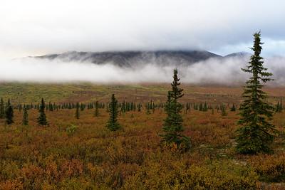 Fog and Spruce