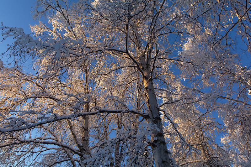 Birch and Blue