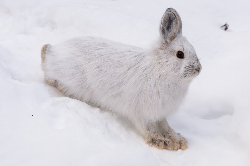 Snowshoe hare in its white winter coat along the Roadside Hiking Trail in Denali National Park.