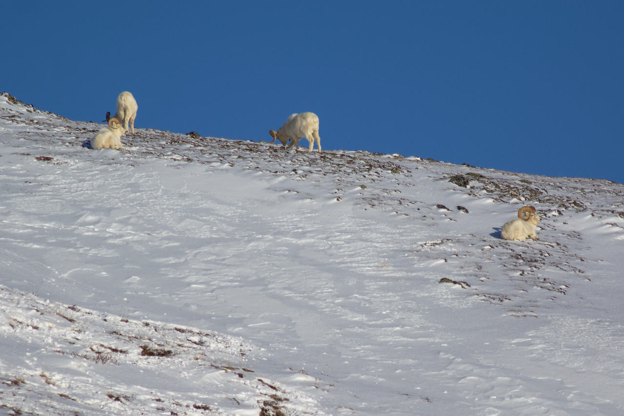 Dall rams in winter near the top of the Savage Alpine Trail in Denali National Park