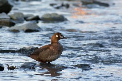 Female Harlequin Duck
