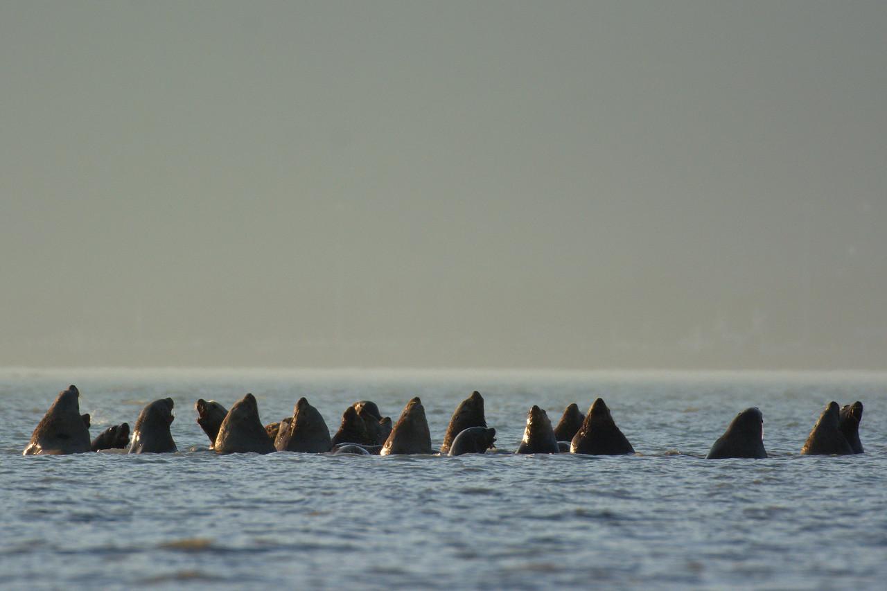 Stellar sea lions at the Solomon Gulch Hatchery in Valdez