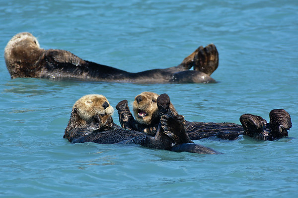 Sea Otter Play