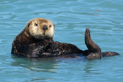 Pensive Sea Otter