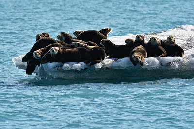 Sea Otters on an Iceberg