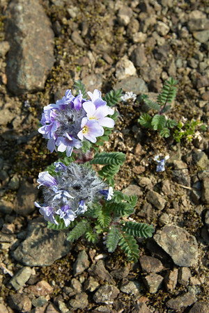 Northern Jacob's Ladder – Polemonium boreale