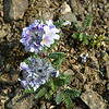 Northern Jacob's Ladder