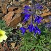 Alaska Poppy (Yellow) and Larkspur (Purple)
