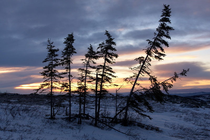 A stand of spruce trees at sunset on Murphy Dome