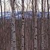 Tall Birch