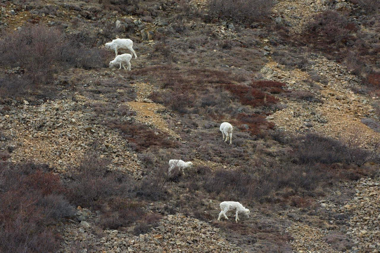 Dall sheep near Polychrome Pass in Denali National Park