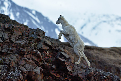 Dall Sheep Climbing