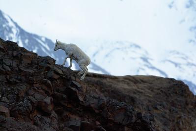 Dall Climbing