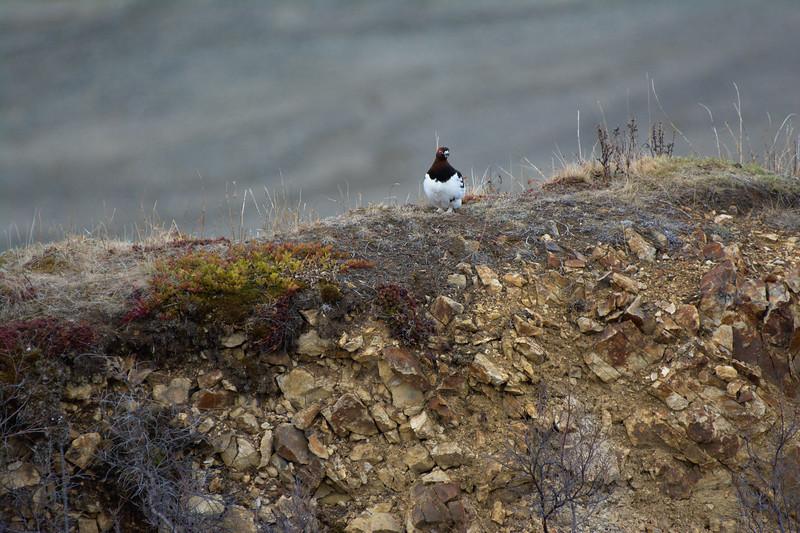Ptarmigan on a Ridge