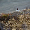 Ptarmigan on a Ridge