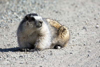 Marmot in the Road