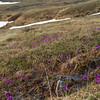 Arctic Primrose