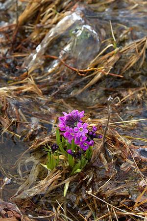 Arctic Primrose – Primula eximia