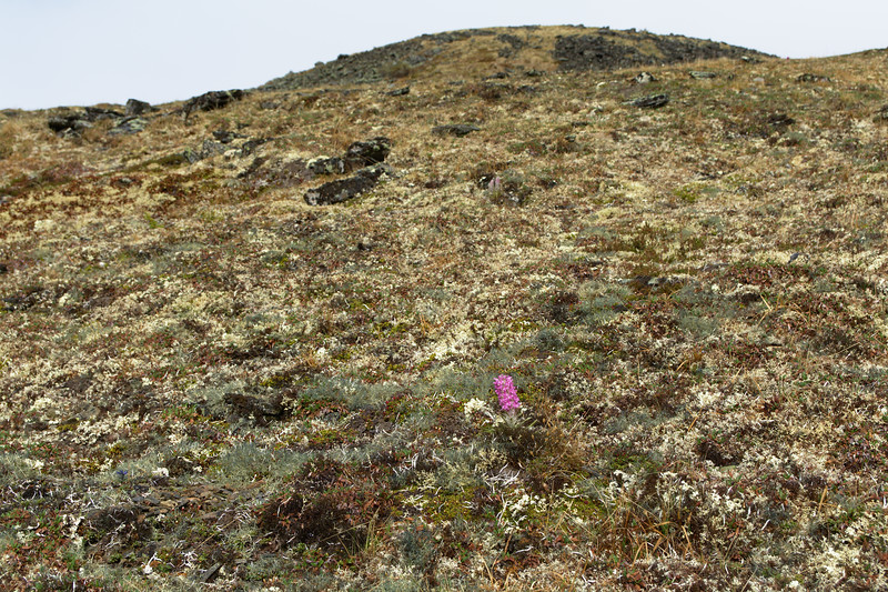 Woolly Lousewort in the Tundra