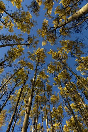 Aspen Trees