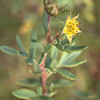 Tundra Rose Sepals