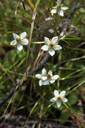 Grass of Parnassus – Parnassia palustris