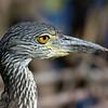 Juvenile Yellow-Crowned Night Heron