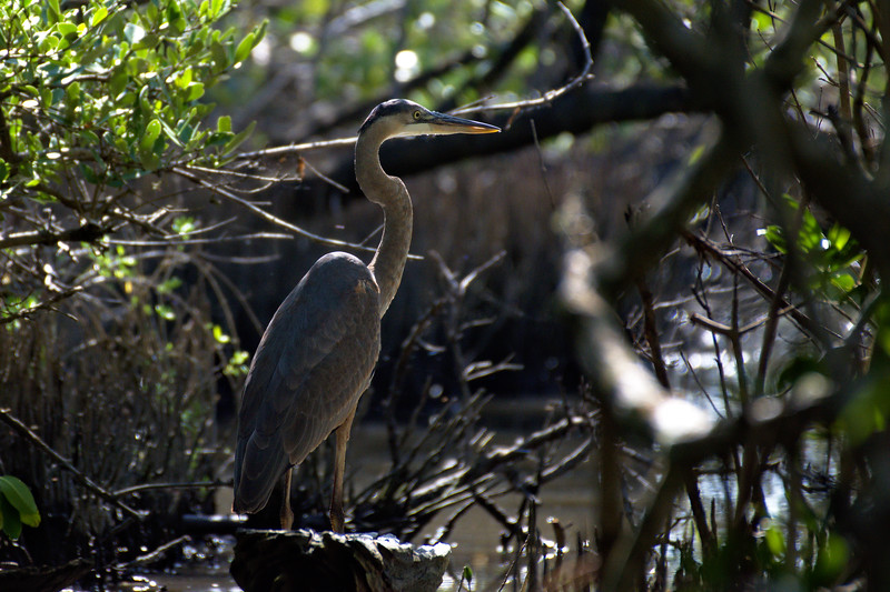 Great blue heron in mangrove